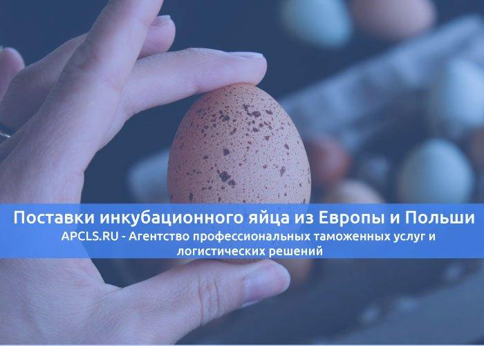 Поставки инкубационного яйца из Европы и Польши